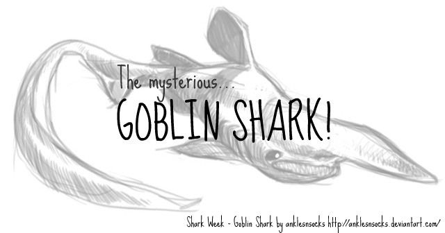 The goblin shark is not believed to be endangered. The rest of the goblin shark remains a mystery… Goblin Shark Facts For Kids!