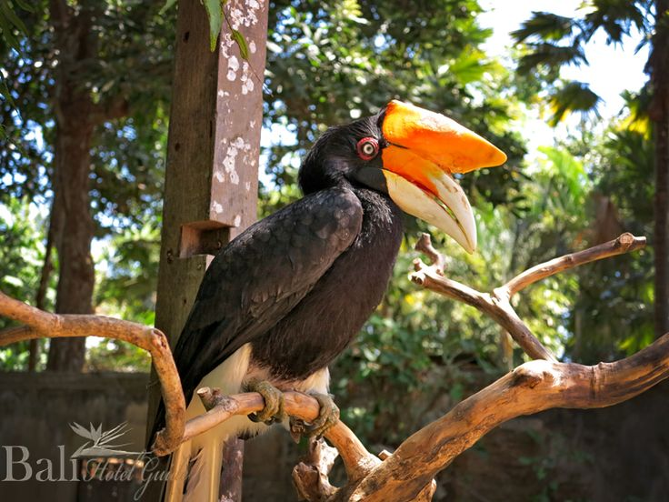Rangkong at Bali Zoo - Singapadu, Gianyak, Bali || www.BaliHotelGuide.com