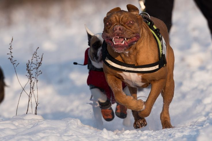 Dogs playing in snow | PITBULLERY