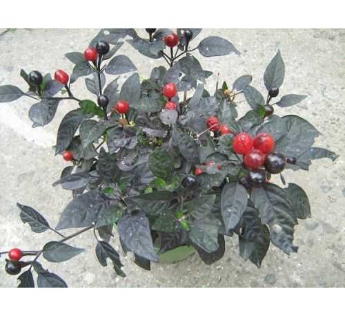 "Семена перца острого ""Черная жемчужина"" (Capsicum annuum longum group 'Black Pearl')-15 грн за 10 шт"