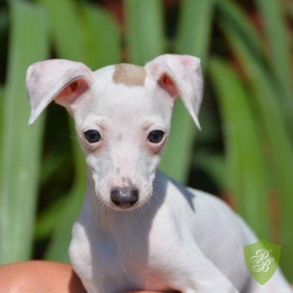 Puppies for Sale - Washington Italian Greyhound Breeders
