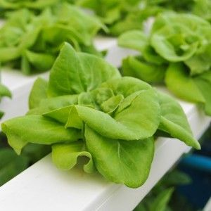 Nutrient film technique or NFT hydroponics is a great option for many home hydroponic gardens. Find out more about NFT hydroponics.