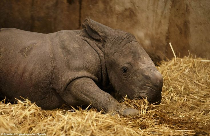 This baby rhinoceros is the first new arrival in Copenhagen Zoo for more than 35 years and is vital for the survival of the species