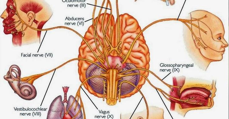 Source: www.lifeadvancer.com | Original Post Date: December 30, 2015-   You may have already heard of the Vagus nerve in one of your school biology lessons? It's the longest nerve in your body and is found right behind where you feel for your pulse.  One of 12 cranial nerves, this super nerve