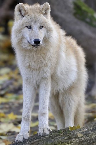 Arctic Wolf.   (KO) Beautiful creature. Wolves are survivors and are loyal to their packs. Strong and wise.