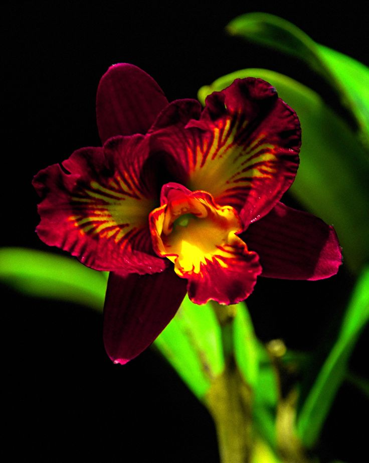 Best images about cattleya orchids on pinterest rare