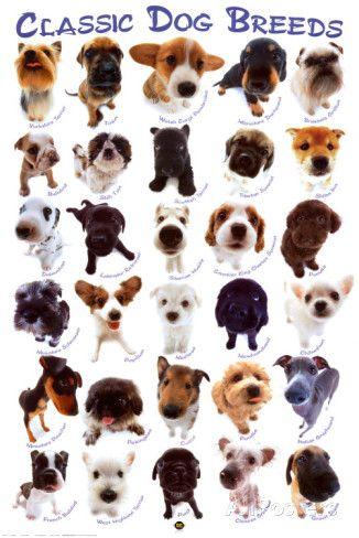 Koirarodut Posters AllPosters.fi-sivustossa