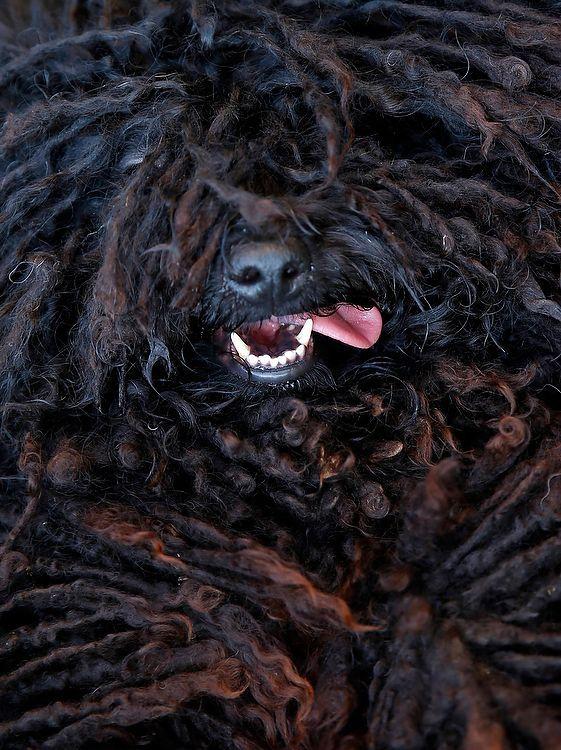 The Hungarian Puli dog