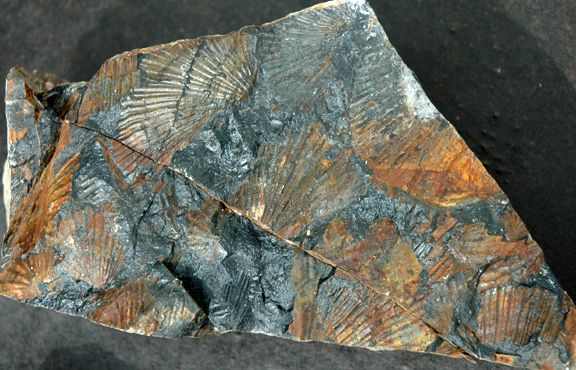 Triassic Paper Clams Found at the Upper Campbell Lake
