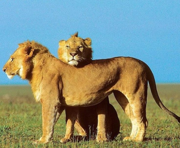 Young lion brothers