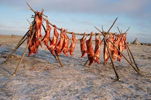 Reindeer meat in Siberia