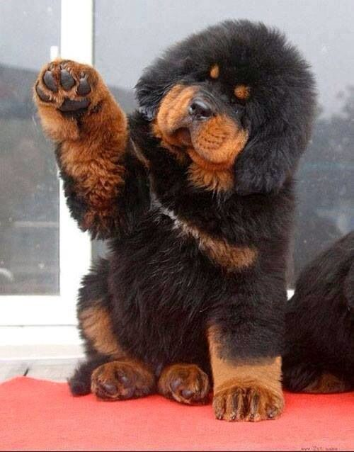 tibetan mastiff puppy looks like a big teddy bear i want