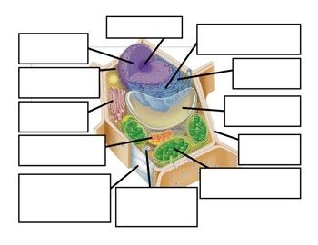 This is a visual tool used to help re-enforce the functions of each organelle in a plant cell. I usually use this diagram as a review tool when the students are preparing for a final assessment. Visuals are extremely important when students are learning about cells.