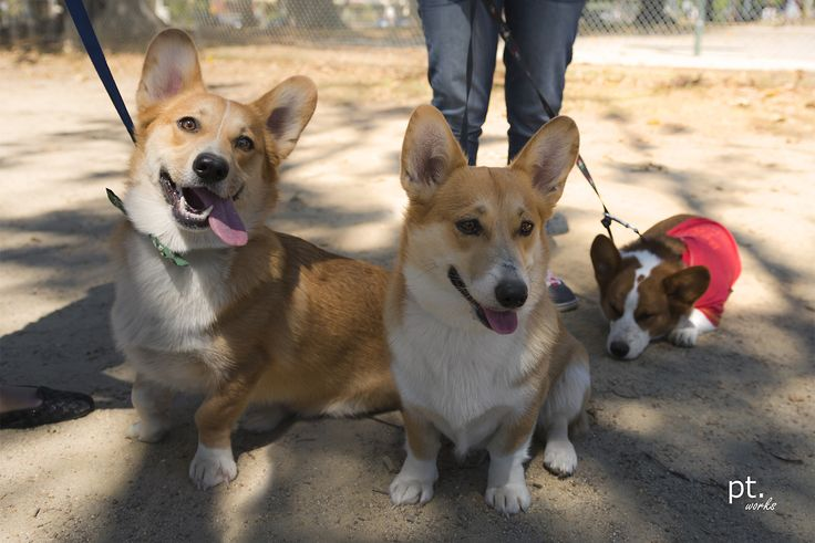 Wow! Australia Day #Corgi Melbourne Meetup Pics http://sulia.com/my_thoughts/d021ae97-72cd-4bc3-877d-bca49dd8d7a0/?source=pin&action=share&btn=small&form_factor=desktop&pinner=124041943