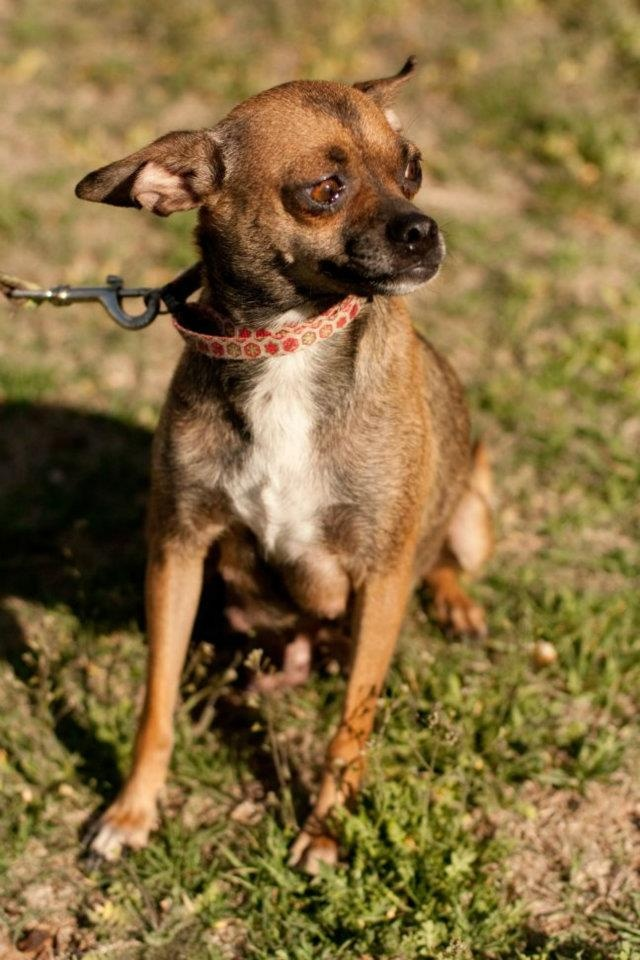 Shenzi is a sweet little chihuahua that is looking for her forever home so she can burrow under the covers with you!  She is available through South Plains SPCA adoptions@spspca.org