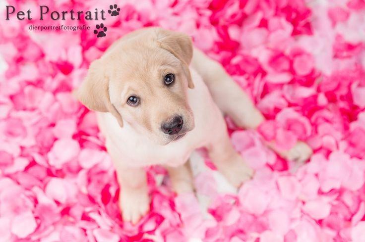 Hondenfotograaf Leiden - Labrador retriever pup Freyja-4