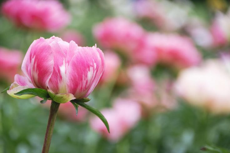 """Where in the South Do the Peonies Grow? - Here's How to Grow Peonies That Last Forever - Southernliving. Peonies are considered potentially poor performers in the Middle and Lower South, but there are secrets for helping them thrive. """"Location is a big part of how well you'll do with peonies,"""" says Rick Berry with Goodness Grows in Lexington, Georgia. """"Here, we recommend partial shade, preferably with protection from afternoon sun."""" Peonies grown in full sun often suffer leaf scorch by…"""