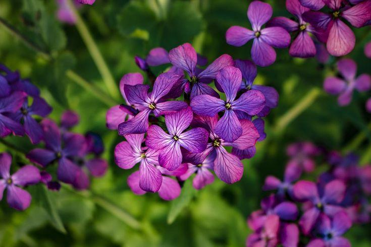 Λουλούδια, Μωβ, Άνοιξη, Μωβ Λουλούδια, Φύση, Άνθιση