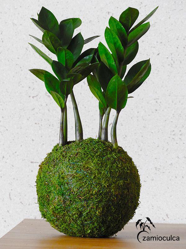 Kokedama zamioculcas plante zz for Plante kokedama