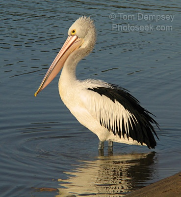 They are jolly, aren't they?Wild Animal, Animal Pictures, Africa Pelican, South Africa, Walks In