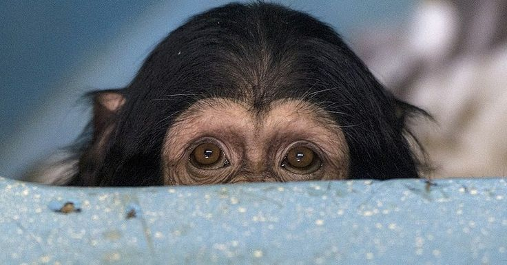 Is man a relation of an ape? An international research team from Russia China and Germany has uncovered differences in the structure of the cerebral cortex of the brains of humans and chimpanzees which are more significant than had been previously assumed Skoltechs press service said.  The results of the study have been published in the Nature Neuroscience.  According to the announcement the microarchitecture of the human brains cerebral cortex underwent notable changes during the course of…