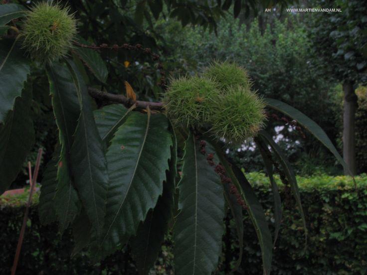 Castanea sativa – tamme kastanje- vrucht: stekelige bolster met kleine platte kastanjes daarin die eetbaar zijn. De boom kan 15-20 m. hoog worden maar word soms ook als grove struik gevonden. In juli komen witte lange, rechtopstaande katjes in de boom. Voor kalkarme grond.