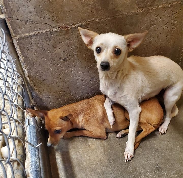 Urgent Big Spring Tx Kennel 4 2 Female Chihuahua Age 1 3 Cavachon Puppies Dog Adoption Pet Adoption
