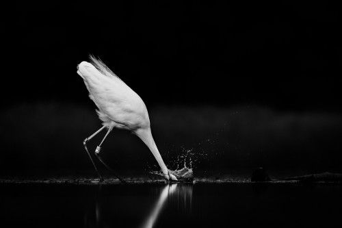 Great Egret Fishing by Michael Ahlén
