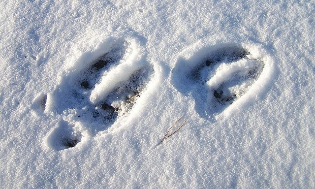 moose tracks by glaciergirl moose tracks in the snow 46