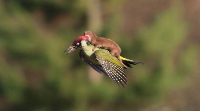 La comadreja que voló sobre el lomo del pájaro | Enredados | EL MUNDO