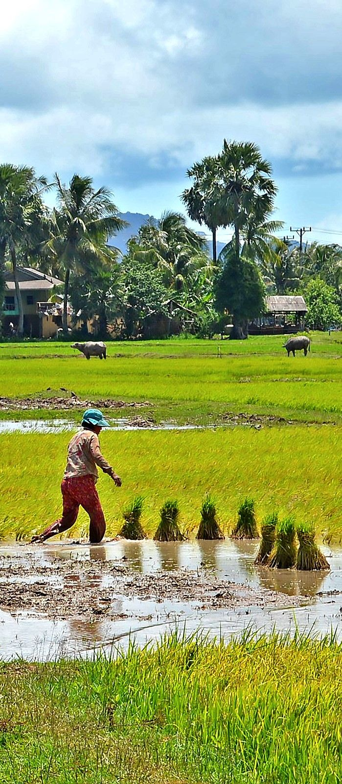 Kep farmer planting a new crop of rice as water buffalo graze in the distance. #photo #photography #travel