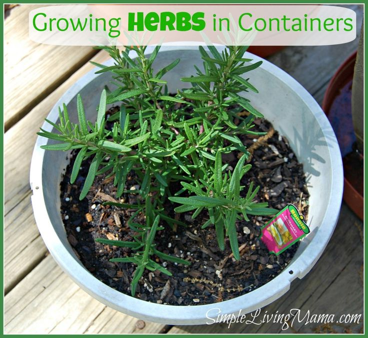 Part 1 of a list of beautiful herbs you can grow in containers no matter where you live!