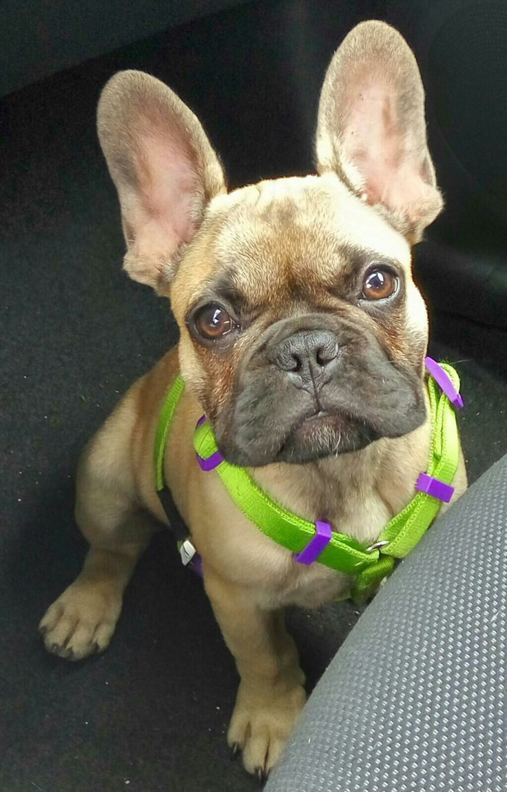 Pin By Barbara Papile On Frenchies French Bulldog French Bulldog Pictures Cute Dogs
