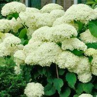 Træagtig hortensia, Hydrangea A. Annabelle