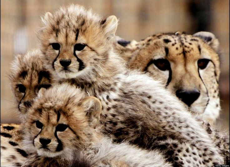 Babbies At San Diego Zoo: Babies, Big Cats, Mothers, Animals Beautiful Wild, Beautiful Animals, Cheetah Cubs, Adorable, Baby Animals, Baby Cheetahs