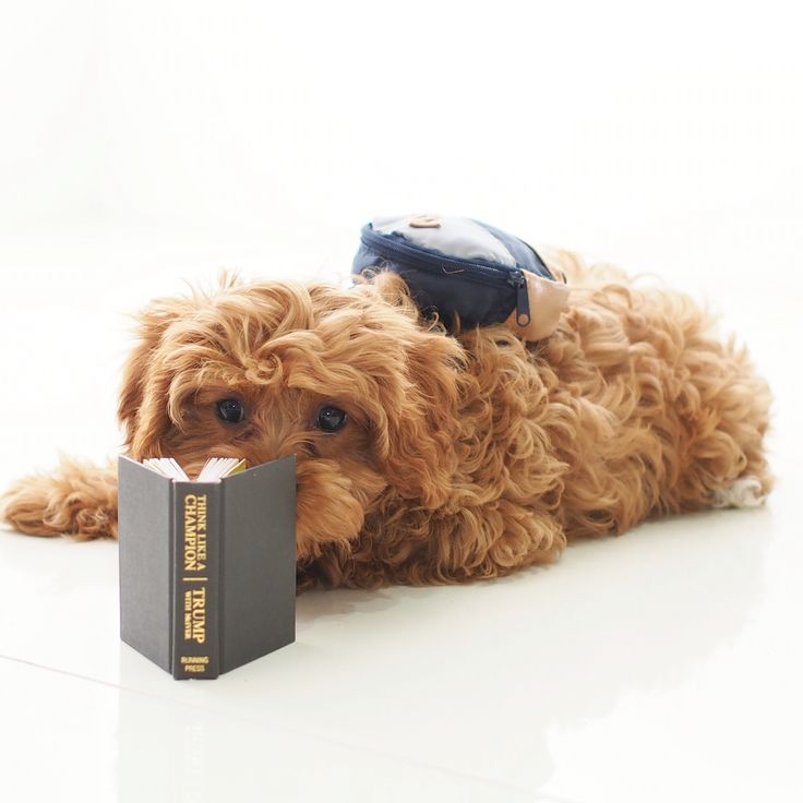 #schoolboy #studying #cutepuppy #cavoodle
