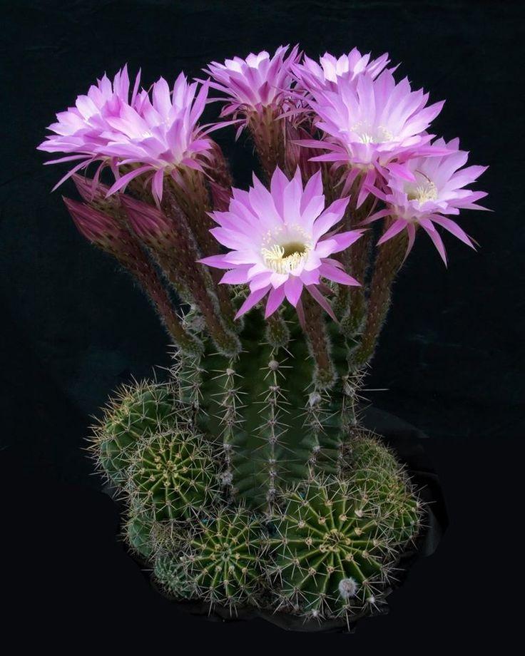 Echinopsis oxygona (Link & Otto) Pfeiffer & Otto 1838