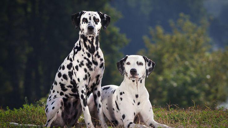 Dalmaçya cinsi köpekler doğduklarında tamamen beyazdırlar, siyah lekeleri sonradan oluşur!  http://www.mamaland.com.tr/