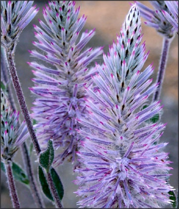 Showy Foxtail~mulla mulla Ptilotus 'Platinum Wallaby'. Available Sept-Oct