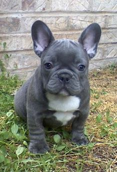 I love Frenchies. I've always wanted a white one and still do, but this gray guy is CUUUUTE!