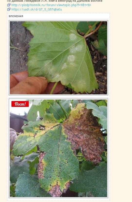 Милдью. Самая распространенненая болезнь виноградной лозы. - Интернет форум виноградарей и садоводов Дальнего Востока