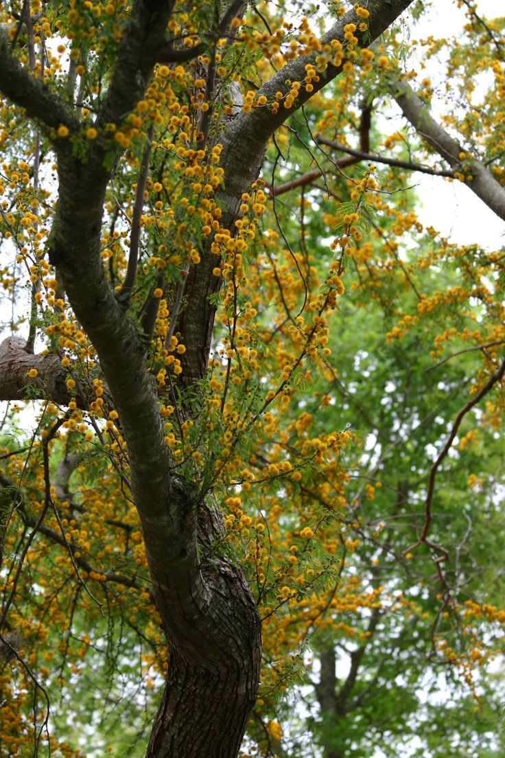 Acacia farnesiana known as sweet acacia or huisache at the Lady Bird Johnson Wildflower Center in Austin, TX