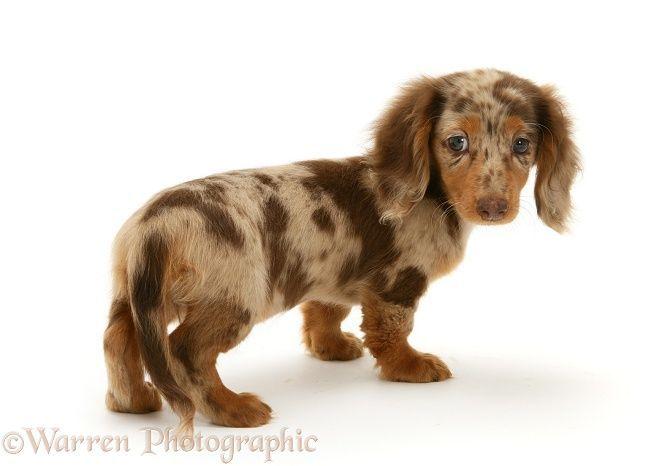The Diverse Dachshund Breed Dapple Dachshund Long Haired