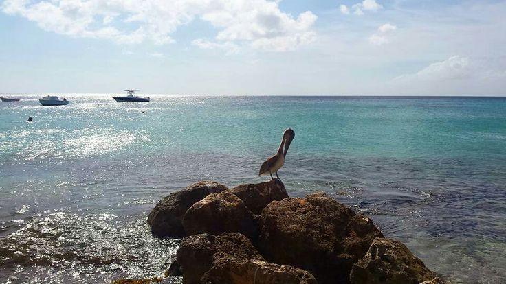 Naast Playa Forti ligt Playa Grandi, ook wel Playa Piscado genoemd. Vanuit Forti kijk je zelfs uit op Grandi. Het is dé plek van het eiland om schildpadden te spotten en bovendien stikt het er van de pelikanen. Je voelt er de authenticiteit van het eiland. Playa Grandi is geen strand om een dag te vertoeven of om lekker te liggen, maar het is een plek om te bewonderen, plaatjes te schieten, te snorkelen en bovenal het Caribische leven te voelen.