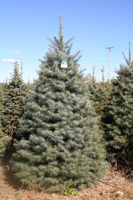 36 Best Christmas Tree Species Images On Pinterest