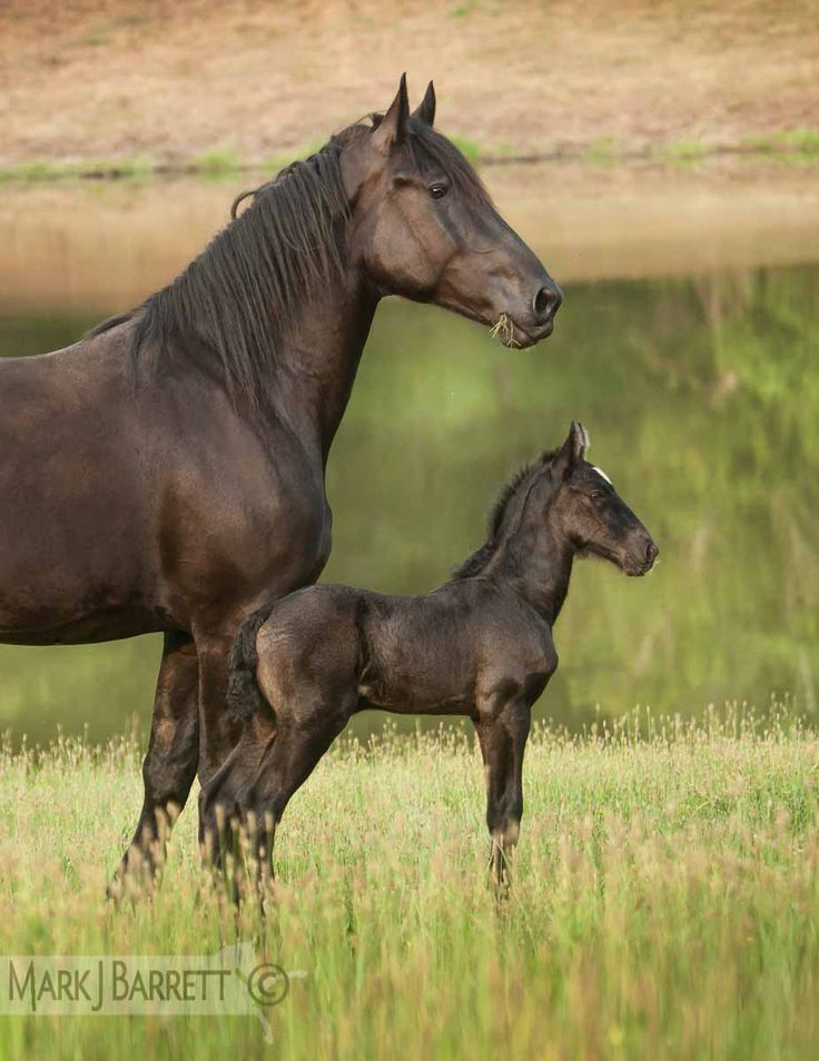2331-773.jpg :: Percheron Draft Horse mare with newborn foal