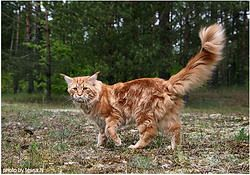 #MaineCoon #Red #Tabby #blotched #ClassicTabby #Cats  photo by #LudmilaPankova