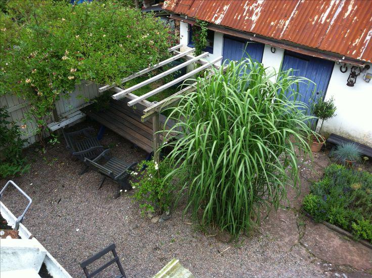 Elefantgräs på min innergård