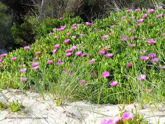 Spring flowers in Tuscany the beach dunes of the Parco della Sterpaia