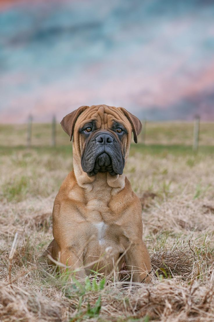 Bullmastiff dog  my obsession !  Not long to go and I'll have one of my own
